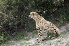 Cheetah Botswana Africa savannah wild animal picture; Royalty Free Stock Images