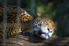 Cheetah on the branch in zoo Royalty Free Stock Photo