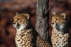 Cheetah brother. The cheetah brother are watching something Royalty Free Stock Photo