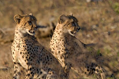 Cheetah brothers Royalty Free Stock Photos