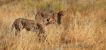Cheetah Brothers. Two cheetah brothers hunting. Picture was taken in the Transfrontier National Park in South Africa / Botswana Royalty Free Stock Images
