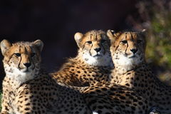 Cheetah brothers. Three cheetahs are seating there and looking at something Royalty Free Stock Photo