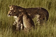 Cheetah brothers, Botswana Royalty Free Stock Images