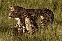 Cheetah brothers, Botswana Royalty Free Stock Images