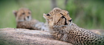Cheetah Brothers Royalty Free Stock Image