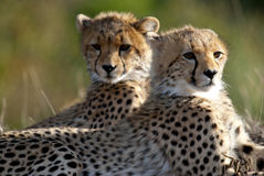 Cheetah brothers Royalty Free Stock Photography