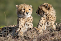 Cheetah brothers Stock Photography
