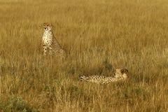 Cheetah Brothers Royalty Free Stock Image