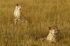 Cheetah Brothers Stock Photos