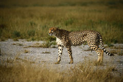 Cheetah Brothers. On the Kalahari plains royalty free stock image