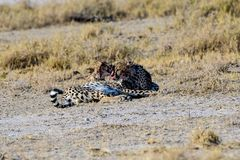 Cheetah brothers preening each other Stock Photo