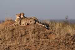 Cheetah brothers together on a vantage point stock images