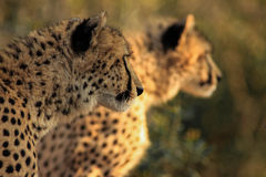 Cheetah brothers Stock Photo