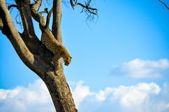 Cheetah on Brown Tree Royalty Free Stock Image