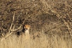 Cheetah in the bush, namibia Stock Images