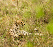 Cheetah in the Bush in South Africa Stock Image