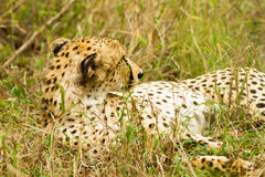 Cheetah in the Bush in South Africa Stock Images
