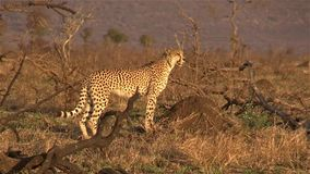 Cheetah Calling Out stock video footage