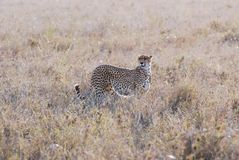Cheetah camouflaged in dry grass - Serengeti National Park, Northern Tanzania, Africa royalty free stock photos