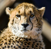 Cheetah. Can accelerate from 0 to 96 km/h (0 to 60 mph) in three seconds Royalty Free Stock Images