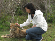 Cheetah in captivity. Touched by woman Stock Photos
