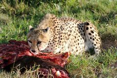 Cheetah at Carcass. Cheetah from Africa eating from it's kill Royalty Free Stock Image
