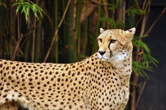 Cheetah carefully watching surroundings Stock Photography