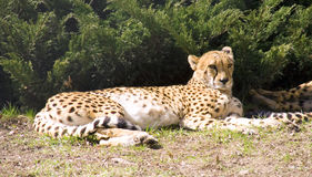cheetah   carnivore mammal spotted leopard africa Royalty Free Stock Images