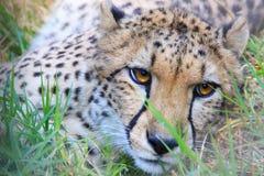 Cheetah cat, Africa Stock Image
