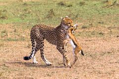 The cheetah caught the impala. Eastest Africa. The cheetah caught the impala. Kenya, Eastest Africa Stock Photo