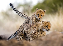 Cheetah chase Stock Images