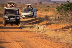Cheetah chased by tourists stock image