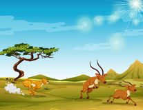 Cheetah chasing deers in the savanna Stock Photos