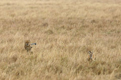 Cheetah chasing a Thomson Gazelle Royalty Free Stock Photography