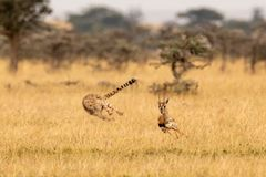 Cheetah chasing Thomson gazelle among whistling thorns royalty free stock photography