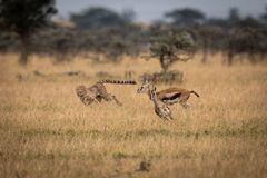 Cheetah chasing two Thomson gazelle in savannah royalty free stock photo