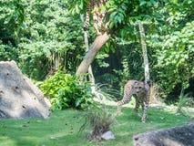 Cheetah or cheeta, fastest land animal, large felid of the subfamily Felinae walking on the grass. Red list animal - cheetah or cheeta, fastest land animal Stock Image