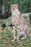 Cheetah. With a green background Royalty Free Stock Photo