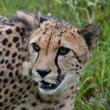 Cheetah. Stock Photography