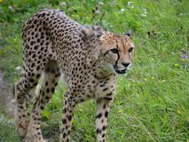 Cheetah. Cheetahs  animals wildlife Stock Images