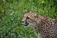 Cheetah. Cheetahs  animals wildlife Stock Image