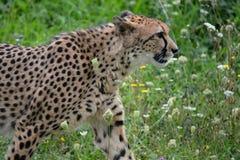 Cheetah. Royalty Free Stock Photo