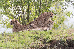 Cheetah. S lying on the ground and observing surroundings Royalty Free Stock Image