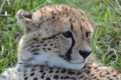 Cheetah Royalty Free Stock Images