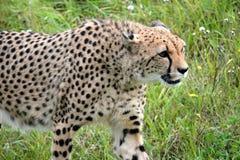 Cheetah. S predator animals Royalty Free Stock Photos