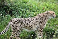 Cheetah. S predator animals Stock Image