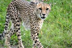 Cheetah. S predator animals Stock Photography