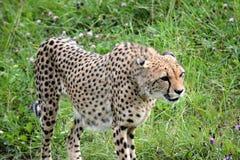 Cheetah. S predator animals Stock Photos