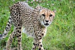 Cheetah. S predator animals Stock Images