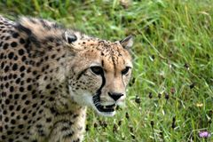 Cheetah. S predator animals Royalty Free Stock Images
